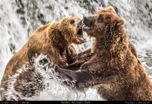 Bears Gallery - 4b.io Nature (2)