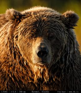 Bears Gallery - 4b.io Nature (20)