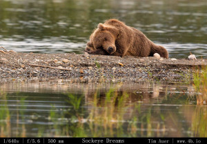 Bears Gallery - 4b.io Nature (22)