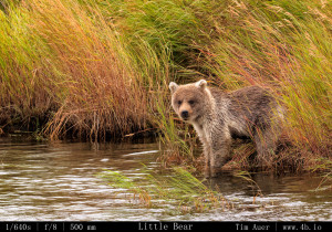 Bears Gallery - 4b.io Nature (23)