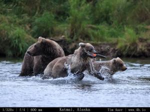 Bears Gallery - 4b.io Nature (24)