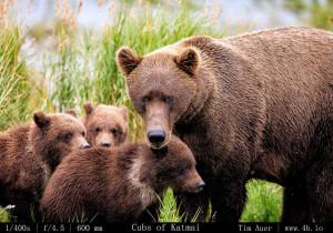 Bears Gallery - 4b.io Nature (25)