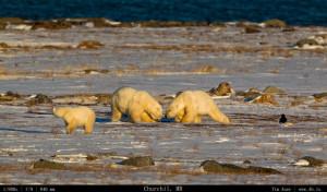 Bears Gallery - 4b.io Nature (28)