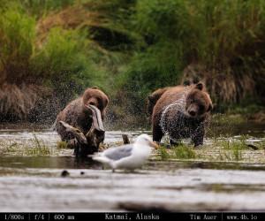 Bears Gallery - 4b.io Nature (8)