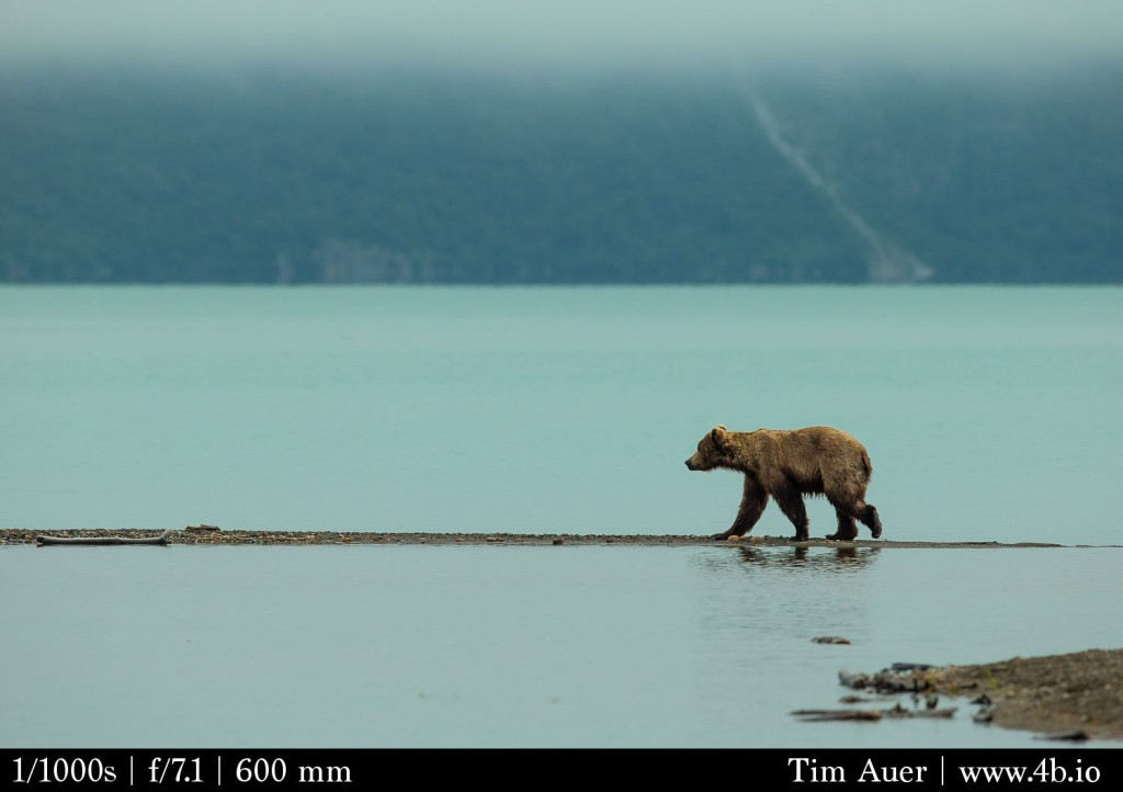 Katmai: Green Fog Bear