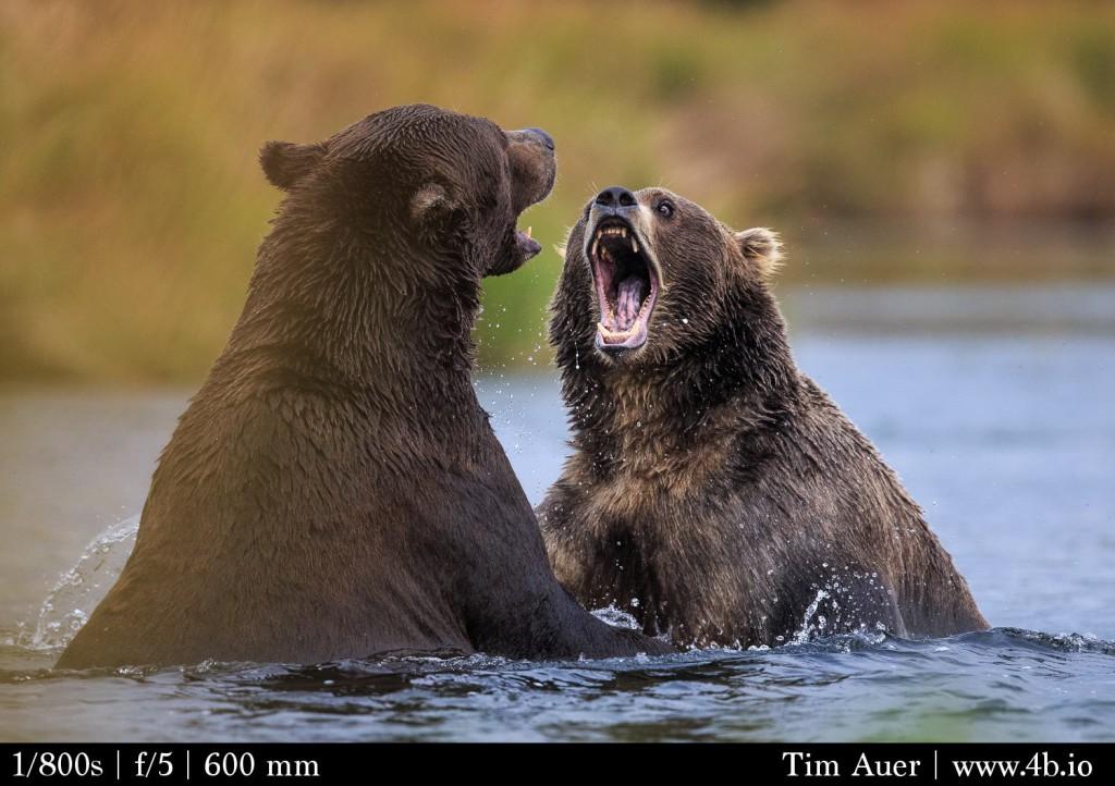 Katmai: Bear Scream