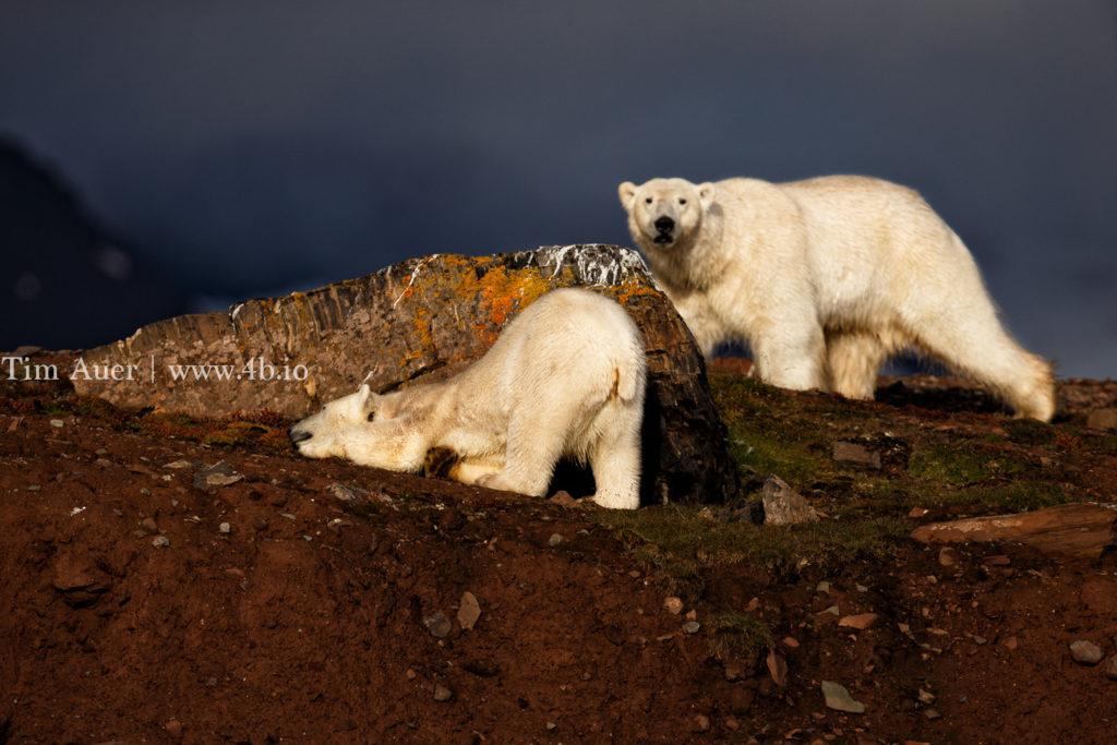 Love Triangle -Polar Hide and Polar Seek